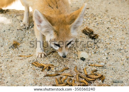 Fennec fox (Vulpes zerda) eating mealworms - stock photo