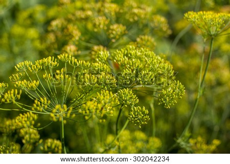 fennel blooming in a summer coutryside garden - stock photo