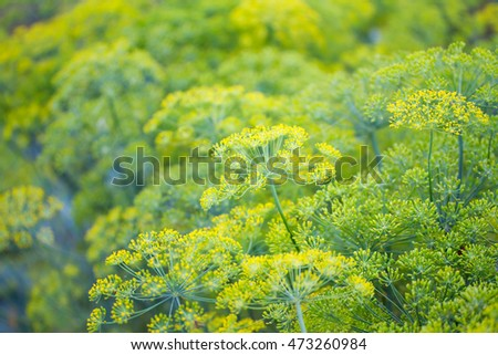 Fennel closeup