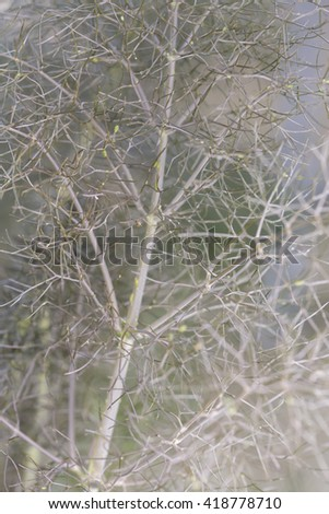 Fennel gray close up - stock photo