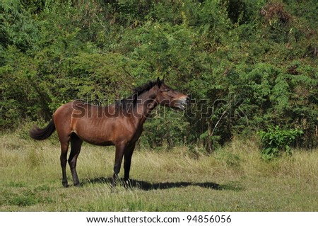 Feral horse on Vieques calling to his companions.