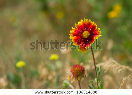 Feral Indian blanket flower in a summer wild field. - stock photo