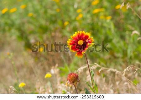 Feral Indian blanket flower in wild field - stock photo
