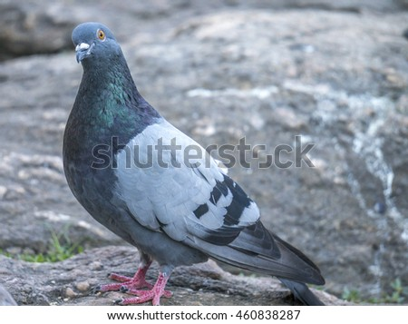 Feral pigeons, Columba livia domestica, also called city doves, city pigeons, or street pigeons