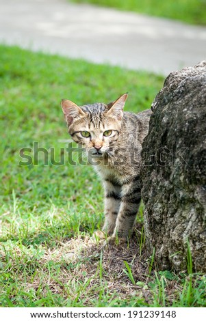 Feral stray tabby cat standing on green grass and hiding behind a large rock near a path - stock photo