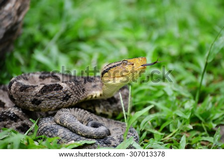 Ferdelance Pit Viper sensing its surroundings with his tongue in the Rain  Forest of Panama - stock photo