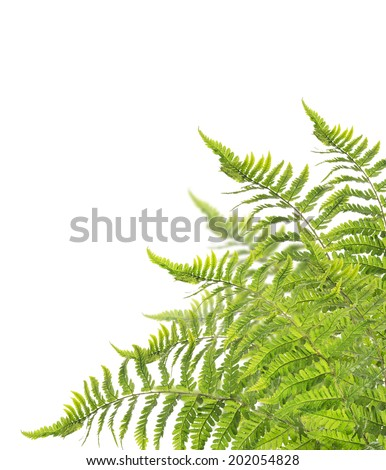 fern Bush, isolated on white background - stock photo