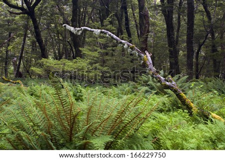 Fern carpet, dense growing ferns of different kinds forming the understory in Mount Aspiring Nationalpark, Wanaka District, South Island, Nee Zealand