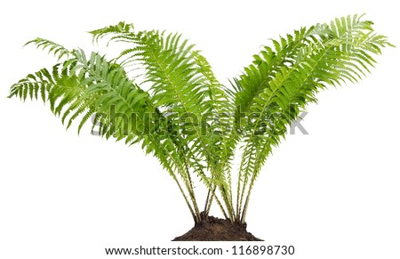 Fern forest real big bush grow in soil land isolated - stock photo