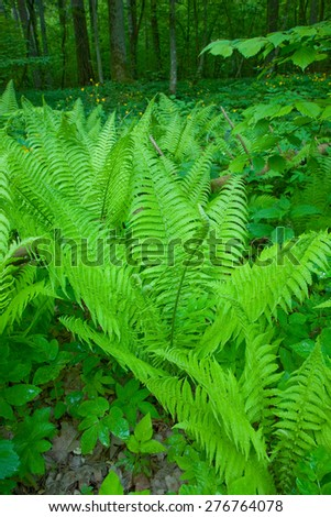 Fern in the Bialowieza Forest,Poland,Europe - stock photo