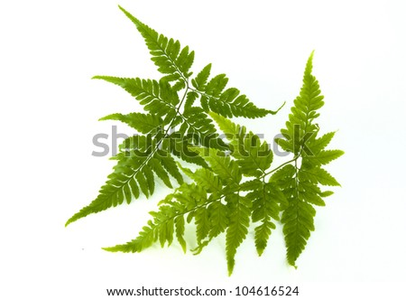 Fern isolated on white background. - stock photo