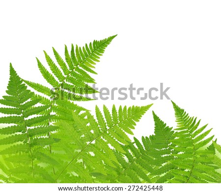 Fern isolated on white background - stock photo