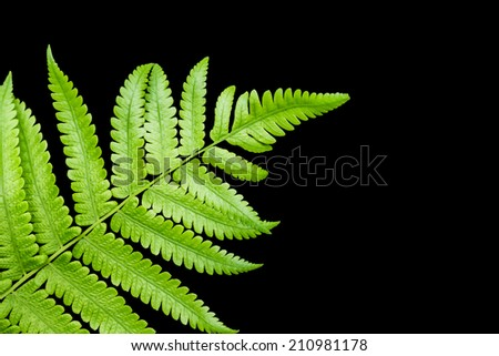 fern leaf isolated on black background - stock photo