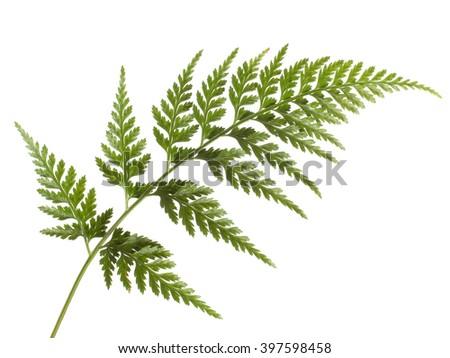 Fern leaf isolated on white. Asplenium. - stock photo