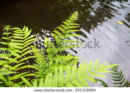 Fern leaf with water background, Thailand. - stock photo