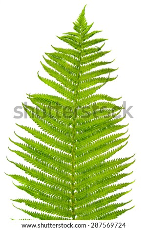 Fern leave isolated over white - stock photo