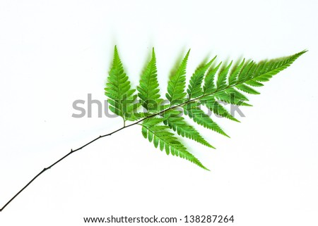 fern leaves isolated on a white background. - stock photo