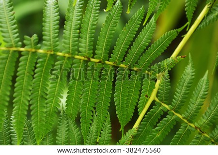 Fern leaves of tropical plants in the rainforest on the island of Hawaii
