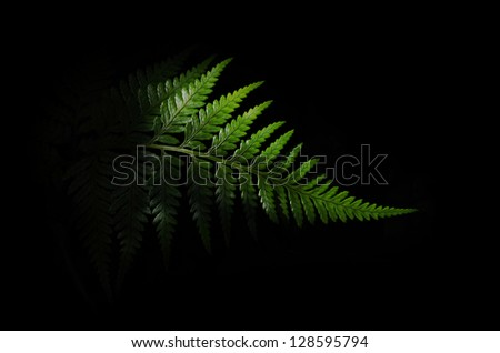 Fern on Black Background - stock photo