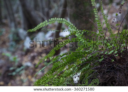 Fern on Mount Soratte, Italy