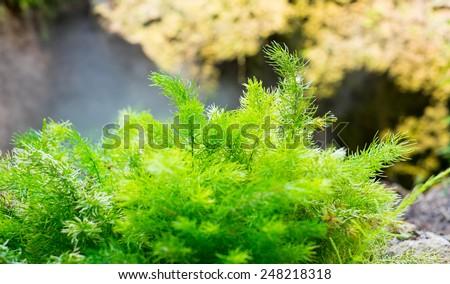 fern plant on rock,nature background. - stock photo