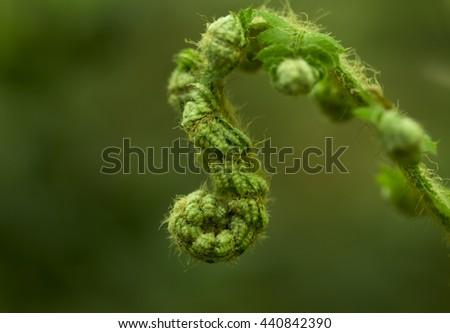 Fern Spiral, the koru - stock photo