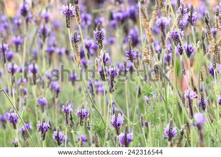 Fernleaf Lavender,Jagged Lavender,many purple fernleaf lavender flowers blooming in the garden - stock photo