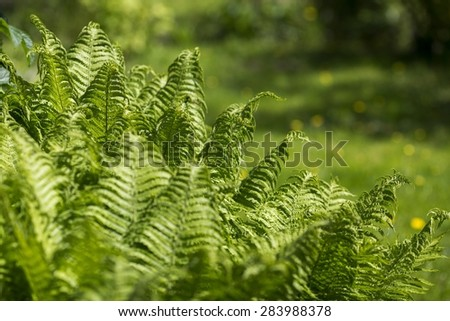Ferns in the garden