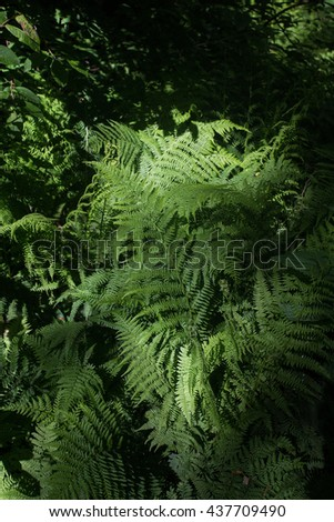 Ferns in the shade of a forest