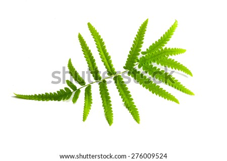 ferns isolated on white, cutout - stock photo