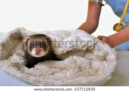 Ferret and the Veterinarian  - stock photo
