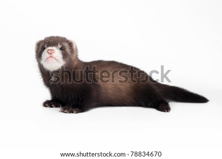 Ferret baby on white background