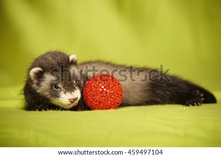 Ferret baby portrait with red toy in studio - stock photo