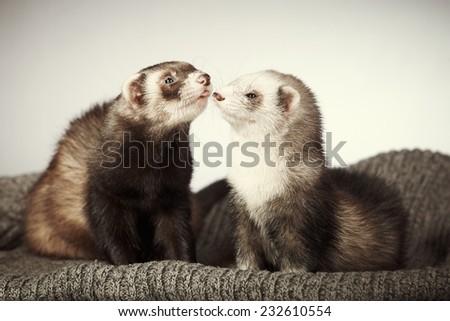 Ferret couple - stock photo