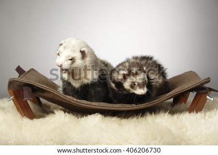 Ferret couple on luxury lounge - stock photo