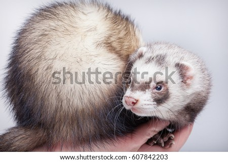 Ferret, cute fluffy pet, best friend, portrait in studio isolated on a gray background, polecat, ferret sits on a man's arm, domestic fur animal.