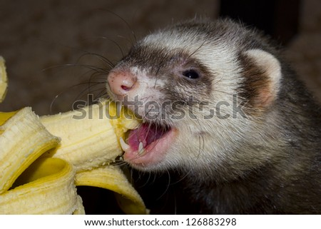 Ferret eats juicy banana