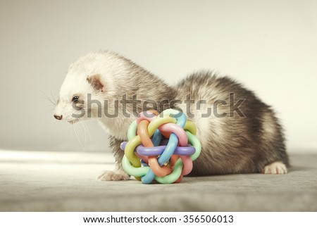 Ferret female with toy