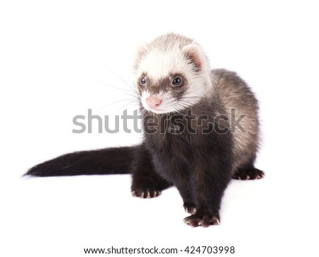 Ferret grey isolated on white background - stock photo