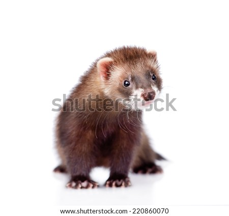 ferret in front. isolated on white background