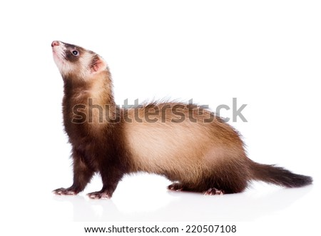 ferret in profile. isolated on white background - stock photo