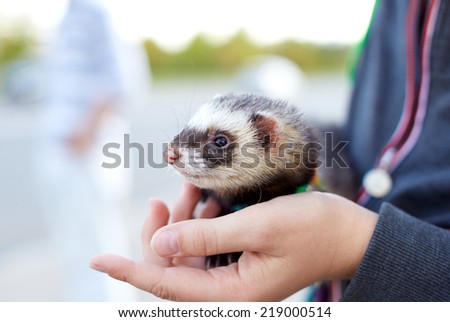 Ferret in the hand of the man - stock photo