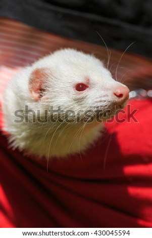 Ferret in the pouch