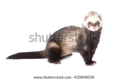 Ferret isolated on white background - stock photo
