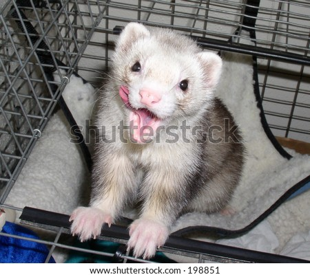 Ferret Licking his face