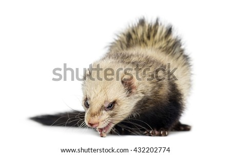 Ferret looking down, isolated on white