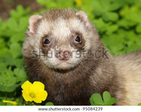 Ferret. Mustela putorius furo - stock photo