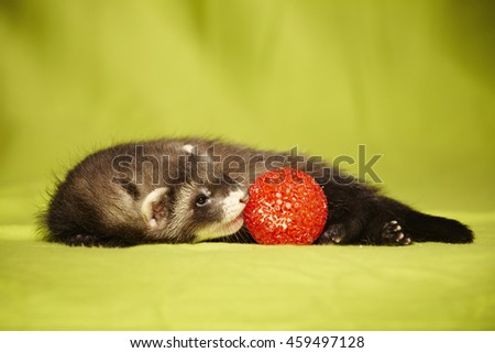 Ferret portrait with red ball in studio - stock photo