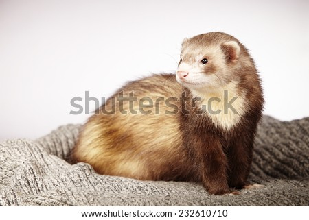 Ferret posing on background
