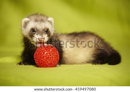 Ferret puppy with red toy in studio - stock photo